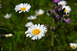 natural sleep remedies -chamomile